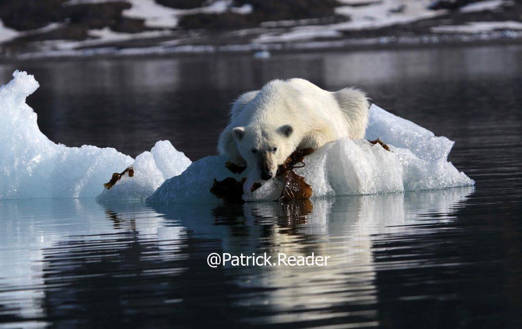 Patrick Reader Wildlife Photographer, Polar bear photo, Svalbard, Arctic05, Seaweed & Food, Spitzbergen, image ours polaire, beautiful Arctic bear image, bears and global warming