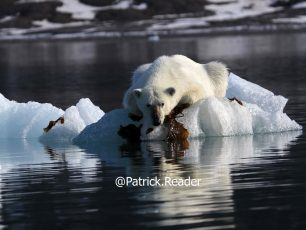 Patrick Reader Wildlife Photographer, Polar bear photo, Svalbard, Arctic05, Seaweed & Food, Spitzbergen, image ours polaire, beautiful Arctic bear image, bears and global warming