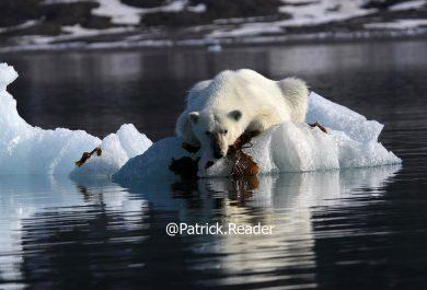 Photo ours polaire, Patrick Reader, ursus maritimus, Arctic05, ours au Svalbard, ours au Spitzberg, algues, Grand Nord, norvège, faune arctique, image ours blanc, banquise et ours