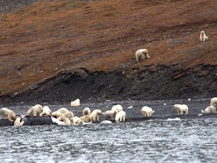 Credit- Alexander Gruzdev:Wrangel Island State Nature Reserve, polar bears, whale, ours, baleine, bears food, climate change, pack-ice, banquise, russian arcic island