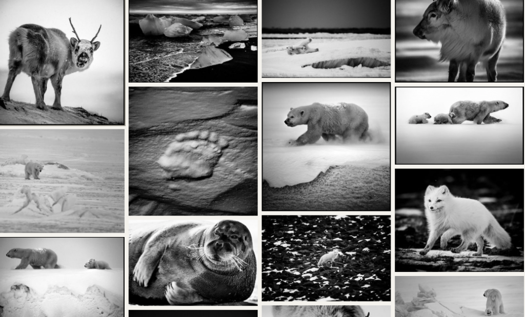 Ice is Black, photographie du Grand Nord, Laurent Baheux, ours, morse, renne, renard polaire, phoque barbu, Arctic05, paysage polaire, glace