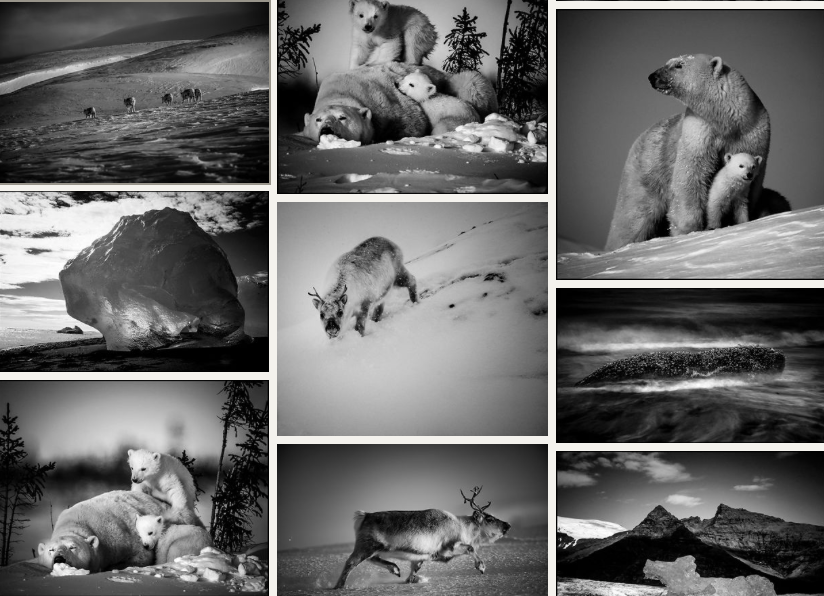 Laurent Baheux Galerie, Ice is black, polar bear, walrus, reindeer, icy landscape, arctic photography