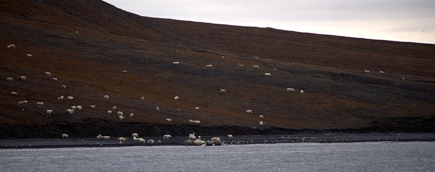 observation d'ours polaire, Photo d'Alexander Gruzdev:Wrangel Island State Nature Reserve, carcasse de baleine, polar bear food, île arctique russe, roi de l'arctique, prédateur polaire