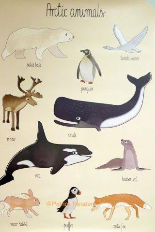 Arctic animals poster, élan, Arctic05, baleine, ours, phoque, cygne, renard, puffin, océan arctique, faune et flore polaire, Couleur locale Knokke