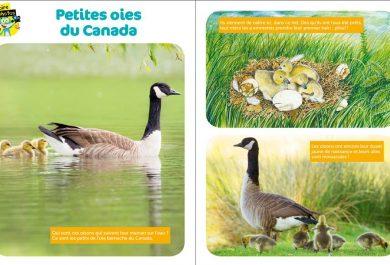 Wakou, bernache du Canada, les oies, magazine kids, oiseaux, Arctic05, ornithologie, oisons, petites oies du Canada, éducation, apprendre aux enfants