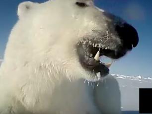 vidéo ours polaire, banquise,chasse aux phoques, USGS, océan arctique, observation ours blanc, scientifique, Arctic05, le roi du grand nord,réchauffement climatique, fonte des glaces, mer de beaufort, alaska